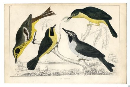 1855 BIRDS Warbler MARYLAND Yellow Throat KENTUCKY Hand Coloured Antique Print
